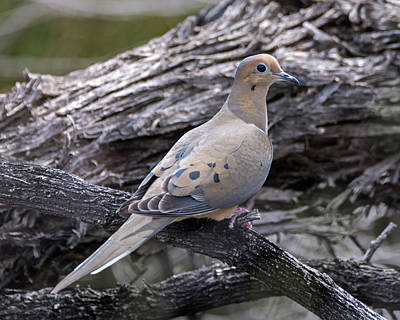 Mourning Dove Photograph - Mourning Dove by Loree Johnson