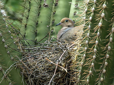 Photograph - Mourning Dove On Nest 7693 by Tam Ryan