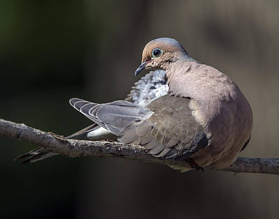 Photograph - Mourning Dove Profile by William Bitman