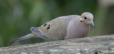 Photograph - Mourning Dove by Richard Goldman