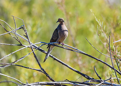 Photograph - Mourning Dove by Robert Potts