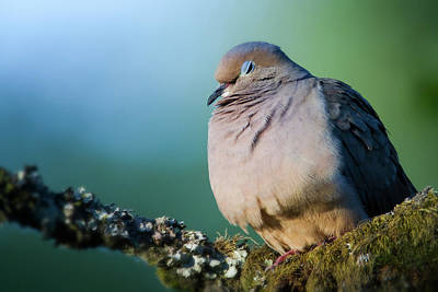 Photograph - Mourning Dove Siesta by Craig Strand