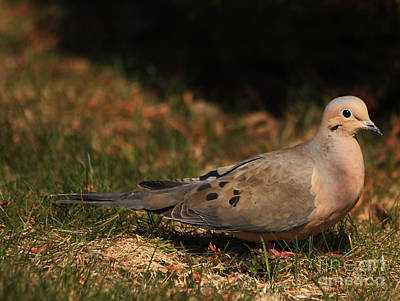 Mourning Dove Photograph - Mourning Dove Spring 2012 by Marjorie Imbeau