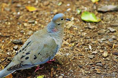 Photograph - Mourning Dove by Steve Warnstaff