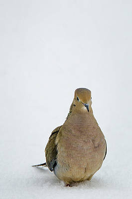 Photograph - Mourning Dove by Susan McMenamin