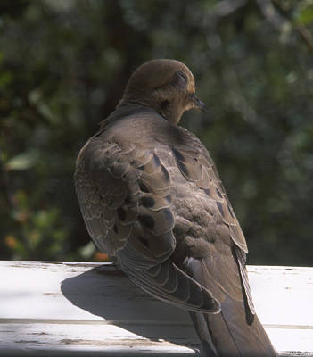 Mourning Dove - Tillie Creek Art Print by Soli Deo Gloria Wilderness And Wildlife Photography