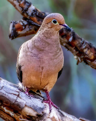 Photograph - Mourning Dove V1821 by Mark Myhaver