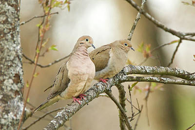 Photograph - Mourning Doves 4142 by Michael Peychich