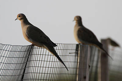 Photograph - Mourning Doves Calverton New York by Bob Savage