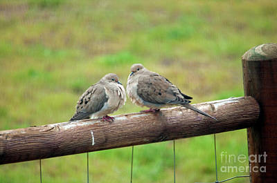 Photograph - Mourning Doves by Cindy Murphy - NightVisions