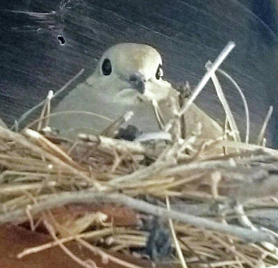Photograph - Mourning Doves False Pregnancy by Jay Milo