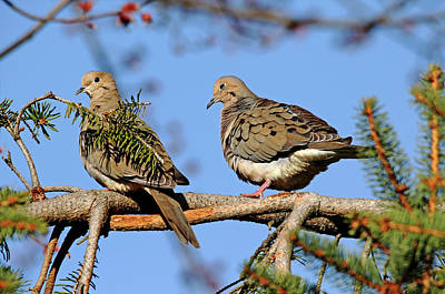 Photograph - Mourning Doves In Spring by Debbie Oppermann