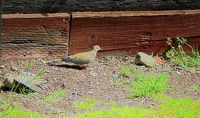 Photograph - Mourning Doves In Spring by Joyce Dickens