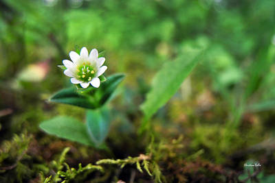 Photograph - Mouse-ear Chickweed by Christina Rollo