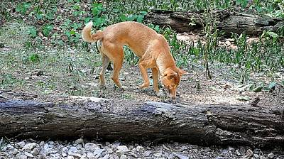 Dingo Photograph - Mouse Hunting by Jan Amiss Photography