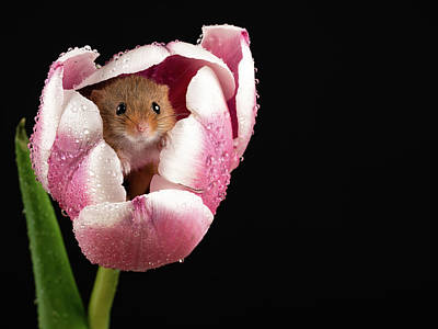 Photograph - Mouse In Pink And White by Framing Places