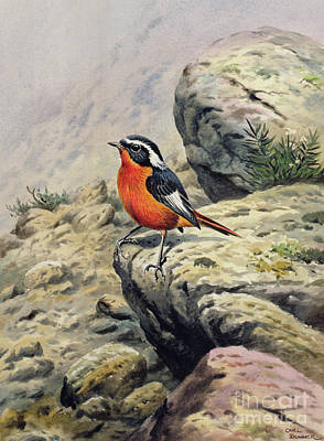 Redstart Painting - Moussier's Redstart by Carl Donner