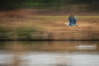 Photograph - Movement Grey Heron  by Cliff Norton