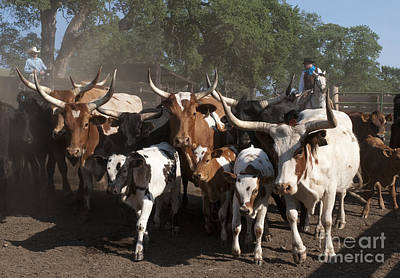 Cattle Drive Photograph - Movin' Out by Sandra Bronstein