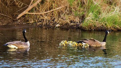 Photograph - Moving The Brood by Belinda Greb