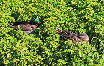 Photograph - Mr And Mrs Duck Take A Nap In The Leaves by Nareeta Martin