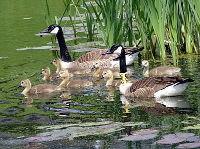 Photograph - Mr And Mrs Goose And Family by Janice Drew