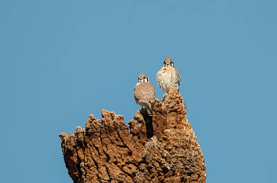 Photograph - Mr. And Mrs. Kestrel by Loree Johnson