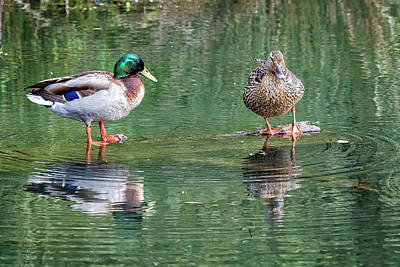 Photograph - Mr And Mrs Mallard by Belinda Greb