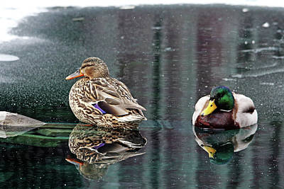 Photograph - Mr And Mrs Mallard by Debbie Oppermann