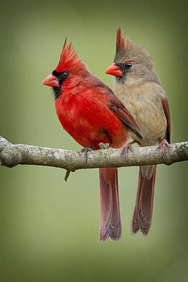 Male Northern Cardinal Photograph - Mr. And Mrs. Northern Cardinal by Bonnie Barry