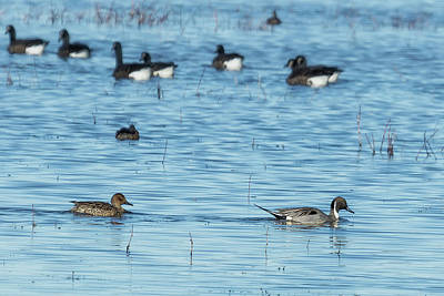 Photograph - Mr And Mrs Northern Pintail Among The Geese by Belinda Greb