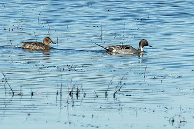 Photograph - Mr And Mrs Northern Pintail by Belinda Greb