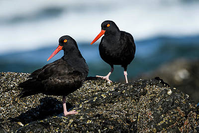 Photograph - Mr. And Mrs. Oystercatcher by Robert Potts