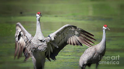 Photograph - Mr And Mrs Sandhill Crane by Elizabeth Winter