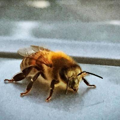 Naturelover Photograph - Mr Bee On My Car #bee #naturelovers by Joan McCool