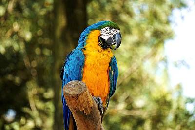 Mr. Big Macaw Original