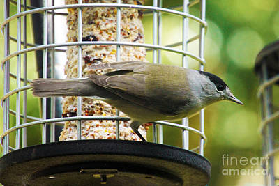 Feathers Photograph - Mr Blackcap by Terri Waters