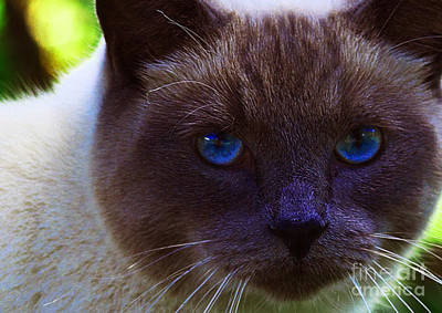 Photograph - Mr. Blue Eyes by Sharon Talson
