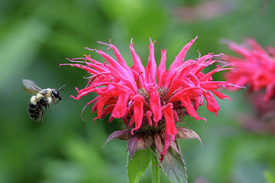 Photograph - Mr. Brumble And Bee Balm by Brook Burling