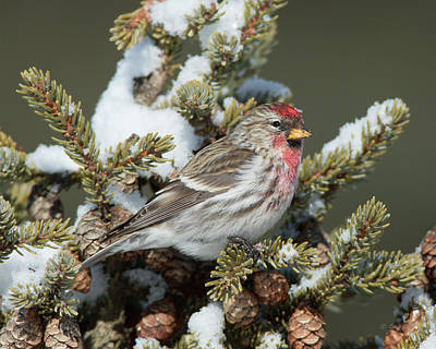 Photograph - Mr C Redpoll by Gerry Sibell