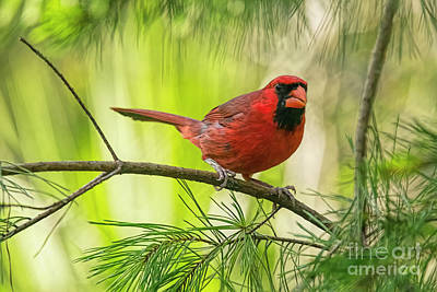 Photograph - Mr. Cardinal by Deborah Benoit