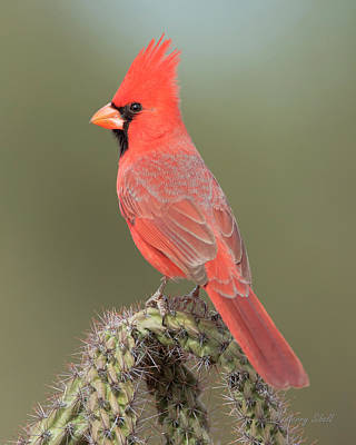 Photograph - Mr. Cardinal by Gerry Sibell