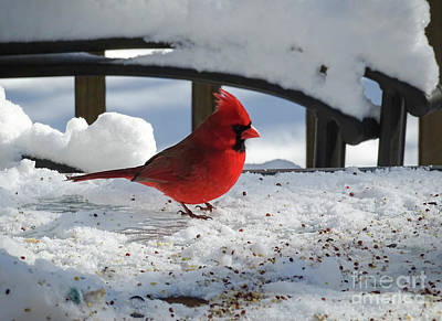 Photograph - Mr. Cardinal by Melissa Messick