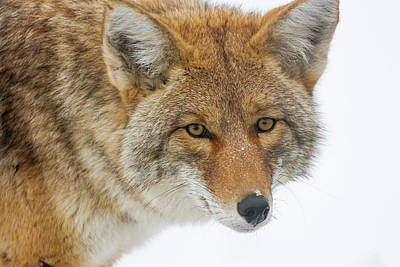 Photograph - Mr. Coyote by Mark Miller