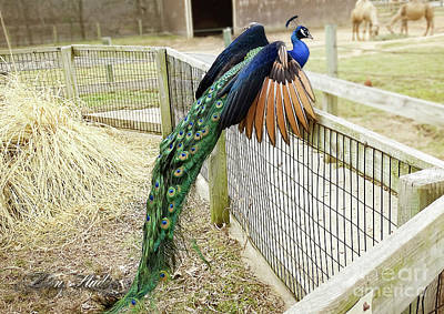 Photograph - Mr. Flying Peacock by Melissa Messick