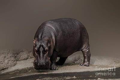 Photograph - Mr. Hippo by Charuhas Images