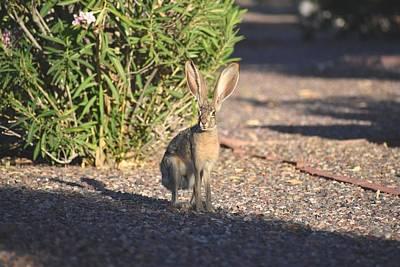 Photograph - Mr. Jack Rabbit 1 by Nina Kindred