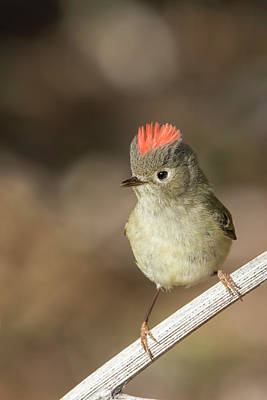 Ruby-crowned Kinglet Birds Photograph - Mr Kinglet  by Mircea Costina Photography