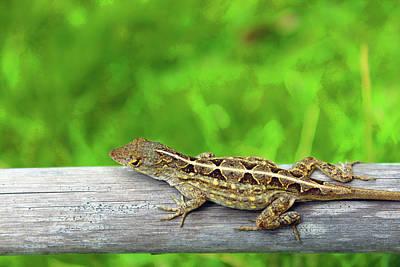 Photograph - Mr. Lizard by Carolyn Ricks