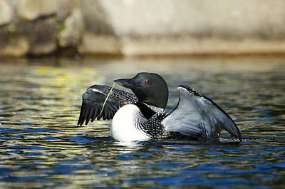 Maine Photograph - Mr. Loon by Donna Doherty